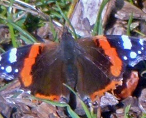 First butterfly sighting in Woodland 2015