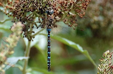 Dragonfly Survey Information