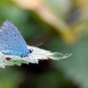 Holly Blue NB Black dots on underside