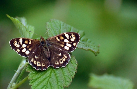 Montefiore Woodland Butterfly Surveys