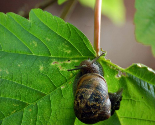 Montefiore Woodland Snail