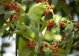 Ring-necked parakeet   Photo John Keith Ross