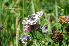 Marbled White - thanks to Jacqui for photo