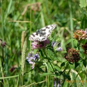 Marbled White big butterfly count July 2015