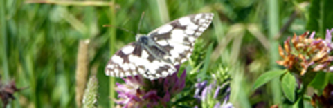 Marbled White Jacqui cropped