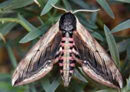 Privet Hawk-moth - July work party